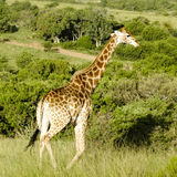 Giraffe Süd-Afrika Ostkap Lizenzfreie Stockfotografie