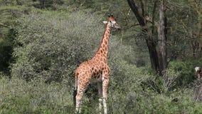 Giraffe in Südafrika stock video