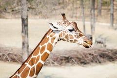 Giraffe in Südafrika Lizenzfreies Stockfoto