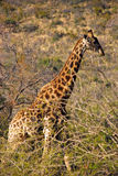Giraffe in Südafrika Stockfotos