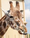 Giraffe in Südafrika Stockbild
