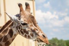 Giraffe in Südafrika Stockfoto