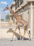 Giraffe in Südafrika Stockfotografie