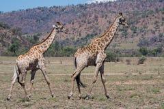 Giraffe Südafrika mit viel mehr Wörtern nur für Ihren Antrag lizenzfreies stockbild