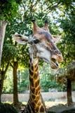 Giraffe ` s κεφάλι Στοκ εικόνα με δικαίωμα ελεύθερης χρήσης