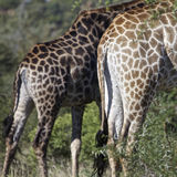Giraffe S Royalty Free Stock Images