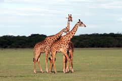 Giraffe's. In Manyara National park Stock Photos