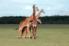 Giraffe's. In Manyara National park Royalty Free Stock Image