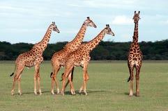 Giraffe's. In Manyara National park Stock Photo