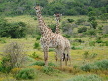 Giraffe's Royalty Free Stock Photo
