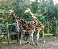 Giraffe& x27; s Stockfoto