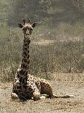 Giraffe s'asseyant photo stock