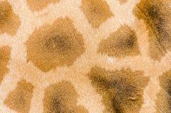 Giraffe's coat pattern Stock Images