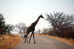 Giraffe's crossing. South Africa - Kruger National Park - Giraffe is crossing the road royalty free stock photos