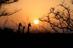 Giraffe's at Dusk Royalty Free Stock Photo