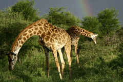 Giraffe's eating green vegetation with rainbow Stock Image