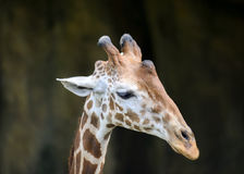 Giraffe's face isolated Stock Photo