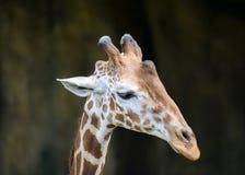 Giraffe's face isolated Stock Photos