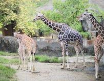 Giraffe's face  Stock Photo