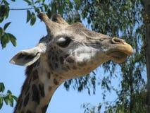 Giraffe´s head. The head of a Giraffe Royalty Free Stock Images