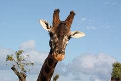 Giraffe's Head royalty free stock photos