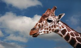 Giraffe`s head Stock Photography