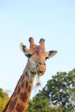 Giraffe. Stock Photography