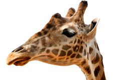 Giraffe's head - isolated Royalty Free Stock Photo