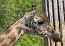 Giraffe 6 Royalty Free Stock Photography