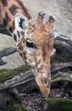 Giraffe`s head 2 Stock Photos