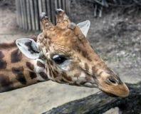Giraffe`s head 3 Stock Images