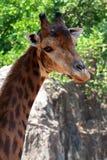 Giraffe's head Stock Images