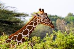 Giraffe's Head Rising Above Green Leaved Tree Stock Photos