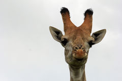 Giraffe's head, Safari park in South Africa Royalty Free Stock Image