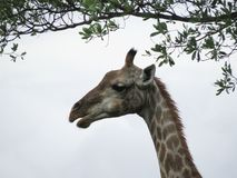 Giraffe´s head under twigs with leaves royalty free stock image