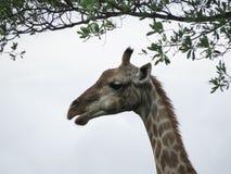 GiraffeÂs Kopf unter Zweigen mit Blättern lizenzfreies stockbild