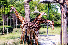 Giraffe. `s long neck and long legs, is also a good cooling `cooling tower`. They live in hot tropical grasslands, because of its large surface area, is Stock Photography