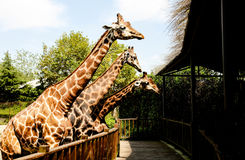 Giraffe. `s long neck and long legs, is also a good cooling `cooling tower`. They live in hot tropical grasslands, because of its large surface area, is Royalty Free Stock Images