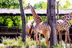 Giraffe. `s long neck and long legs, is also a good cooling `cooling tower`. They live in hot tropical grasslands, because of its large surface area, is Royalty Free Stock Photography