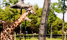 Giraffe. `s long neck and long legs, is also a good cooling `cooling tower`. They live in hot tropical grasslands, because of its large surface area, is Royalty Free Stock Image