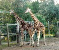Giraffe& x27;s Stock Photo