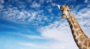 Giraffe's neck Stock Photography