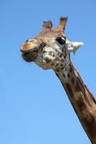 Giraffe's neck against blue sky Royalty Free Stock Image