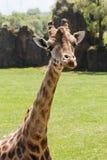 Giraffe`s neck and head Stock Image