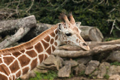 Giraffe's neck with head Royalty Free Stock Photography