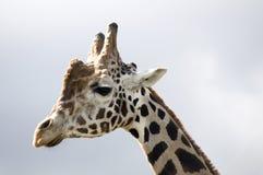 Giraffe's profile Stock Image