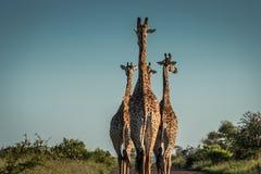 Giraffe& x27; s que anda abaixo da estrada Foto de Stock Royalty Free