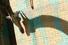 Giraffe's shadow Royalty Free Stock Images
