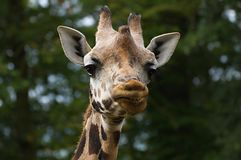 Giraffe's smile. Smiling Head of Giraffe with green background Stock Images