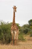 Giraffe in Sabi Sand Reserve, Africa Royalty Free Stock Photos